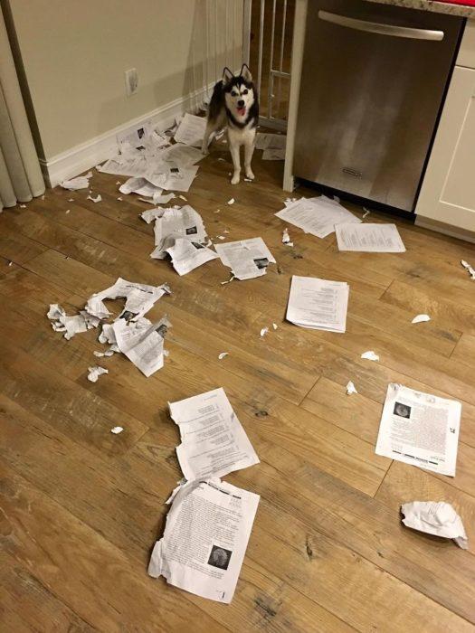 Mascotas-hacen-desastres-cuando-estan-solos-10-525x700
