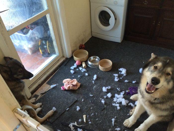 Mascotas-hacen-desastres-cuando-estan-solos-11