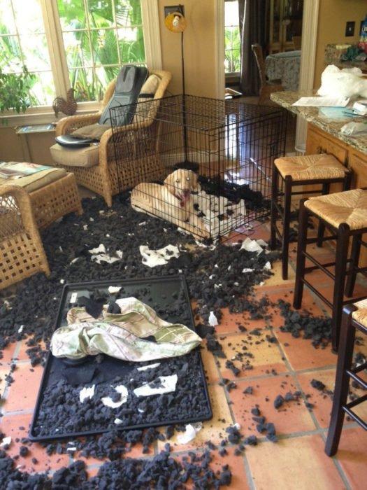 Mascotas-hacen-desastres-cuando-estan-solos-3-525x700