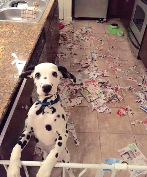 Mascotas-hacen-desastres-cuando-estan-solos-5-581x700