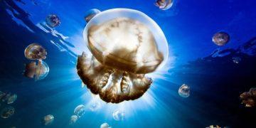 Datos-curiosos-de-la-medusa